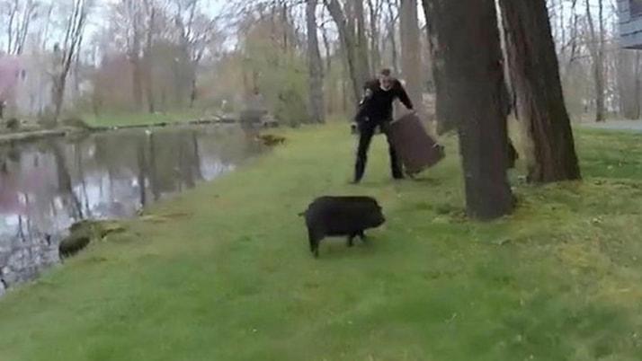 Polislerin yaban domuzu ile imtihanı kamerada
