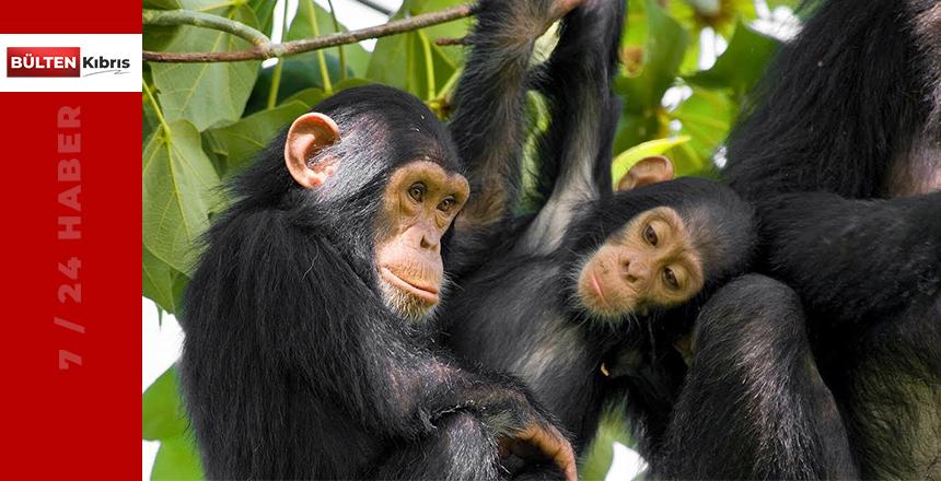 Bilimsel araştırma: Şempanzeler eski dostlarını yenilere tercih ediyor
